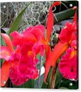 Hawaiian Orchid 37 Acrylic Print
