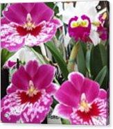 Hawaiian Orchid 5 Acrylic Print