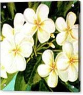 Hawaiian Plumeria #56 Acrylic Print