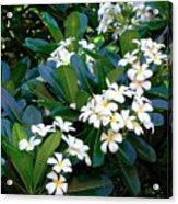 Hawaiian Plumeria Acrylic Print