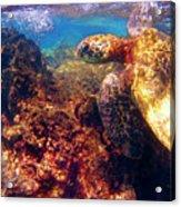 Hawaiian Sea Turtle - On The Reef Acrylic Print