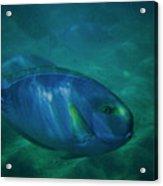 Hawaiian Tang Fish Acrylic Print