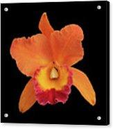 Potinara Hawaiian Thrill, Paradise Acrylic Print