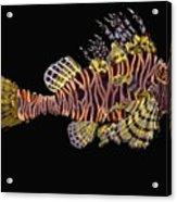 Hawaiian Turkey Fish Acrylic Print