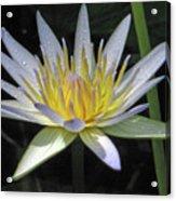 Hawaiian Water Lily 05 - Kauai, Hawaii Acrylic Print