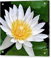 Hawaiian White Water Lily Acrylic Print
