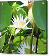 Hawiian Water Lily 01 - Kauai, Hawaii Acrylic Print