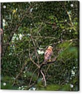 Hawk Drying Out Acrylic Print