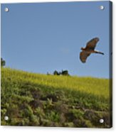 Hawk Flying Over Field Of Yellow Mustard Acrylic Print