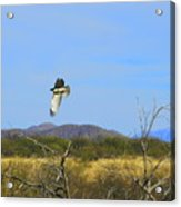 Hawk In Flight Over The Desert Acrylic Print