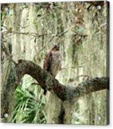Hawk In Live Oak Hammock Acrylic Print