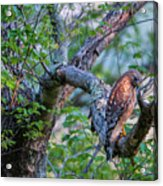 Hawk In Sunlight Acrylic Print