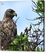 Hawk In The Tree Acrylic Print