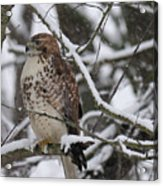 Hawk In Winter Acrylic Print