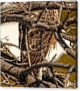 Hawk King Outside My Window Acrylic Print