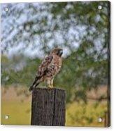 Hawk On A Fence Post Acrylic Print