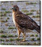 Hawk On A Walk Acrylic Print
