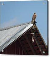 Hawk On The Barn Acrylic Print