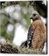 Hawk On Watch Acrylic Print