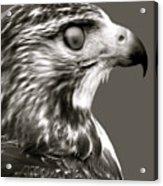 Hawk Profile Acrylic Print