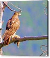 Hawk With Prey Acrylic Print
