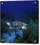 Hawksbill Sea Turtle 1 Acrylic Print