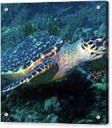 Hawksbill Sea Turtle 3 Acrylic Print