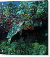 Hawksbill Sea Turtle 4 Acrylic Print