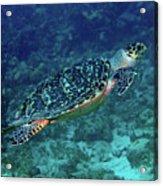 Hawksbill Sea Turtle 5 Acrylic Print