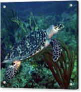 Hawksbill Sea Turtle 7 Acrylic Print