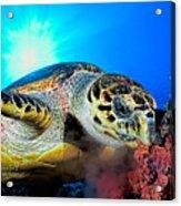 Hawksbill Turtle Acrylic Print