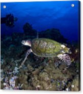 Hawksbill Turtle Swimming With Diver Acrylic Print