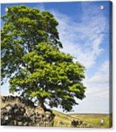 Haworth Moor Sycamore Acrylic Print