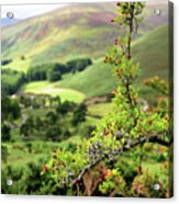 Hawthorn Branch With View To Wicklow Hills. Ireland Acrylic Print