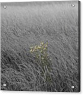 Hay Daisy In The Fog Acrylic Print