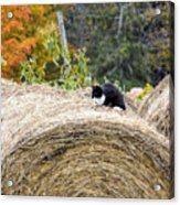Hay Kitty Acrylic Print