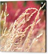 Hay Standing Acrylic Print