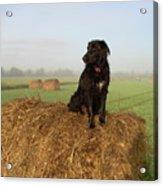 Hay There Black Dog Acrylic Print