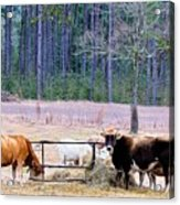Hay There Acrylic Print