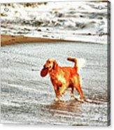 hd 342 Frisbee Dog hdr Acrylic Print