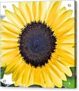 Hdr Sunflower Acrylic Print
