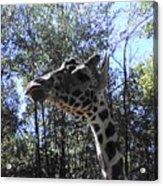 Head Giraffe Acrylic Print