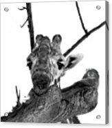 Head In The Trees Acrylic Print