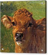 Head Of A Calf Acrylic Print