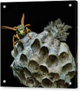 Head-on - Paper Wasp - Nest Acrylic Print