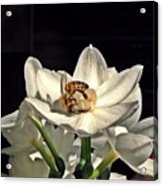 Head Over Heels For Narcissus Acrylic Print