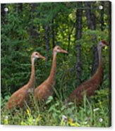 Headed For The Woods Acrylic Print