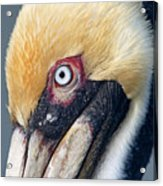 Headshot Brown Pelican Acrylic Print