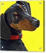 Headshot Of Dacshund Acrylic Print
