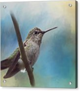 Hear Her Song - Hummingbird Art Acrylic Print
